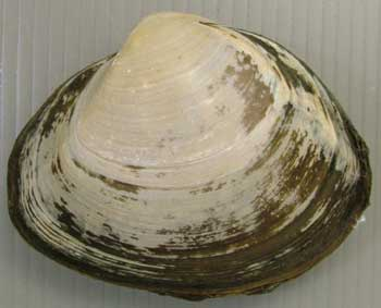 Japanese Shellfish Species 12: Surf Clam-Ubagai-姥貝