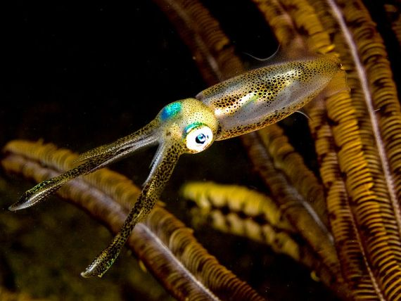 Japanese Cuttlefish/Squid Species 3: Bigfin Reef Squid-Aori Ika-障泥烏賊