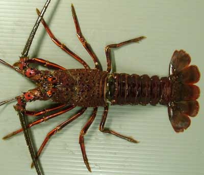 Japanese Crustacean Species 6: Spiny Lobster/Ise Ebi/伊勢海老