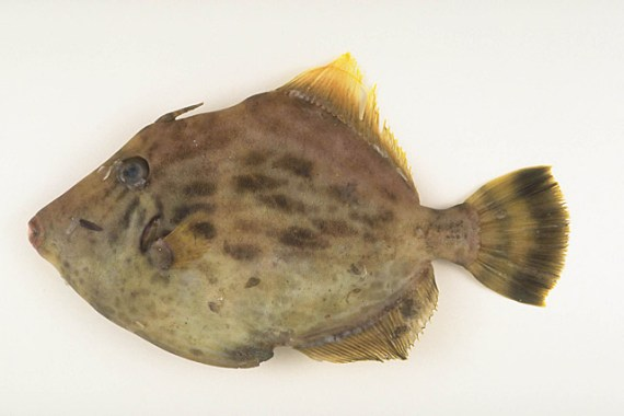 Japanese Fish Species 8: Thread-Sail Filefish-Kawahagi-カワハギ