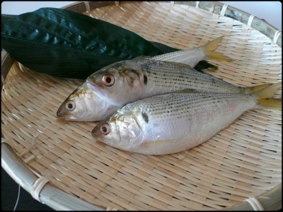 Japanese Fish Species 9: Gizzard Shad-Kohada-小肌