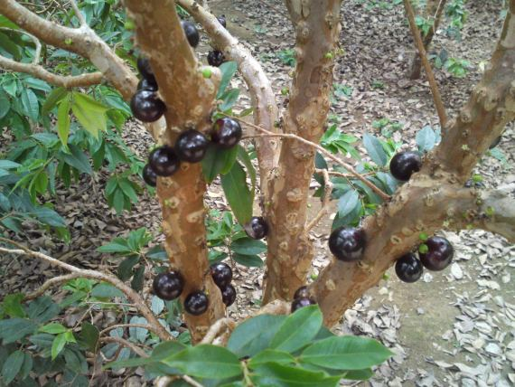 Joboticaba and Tropical Fruits at Nishikawa Garden!