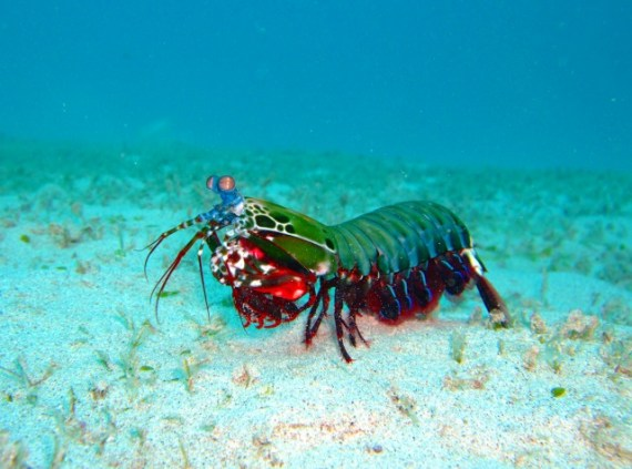 Japanese Crustacean Species 3: Squiila-Mantis Shrimp-Shako-蝦蛄