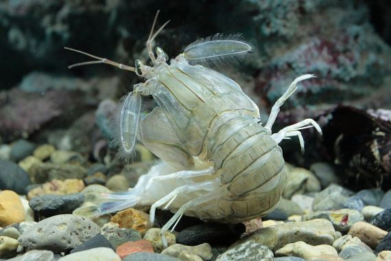 Japanese Crustacean Species 3: Shako-Squilla